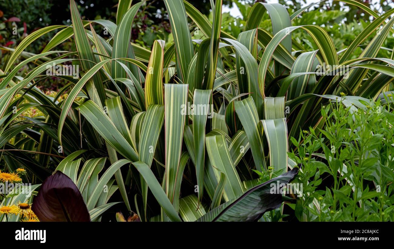 Phormium Tenax. Neuseeland Flachs. Stockfoto