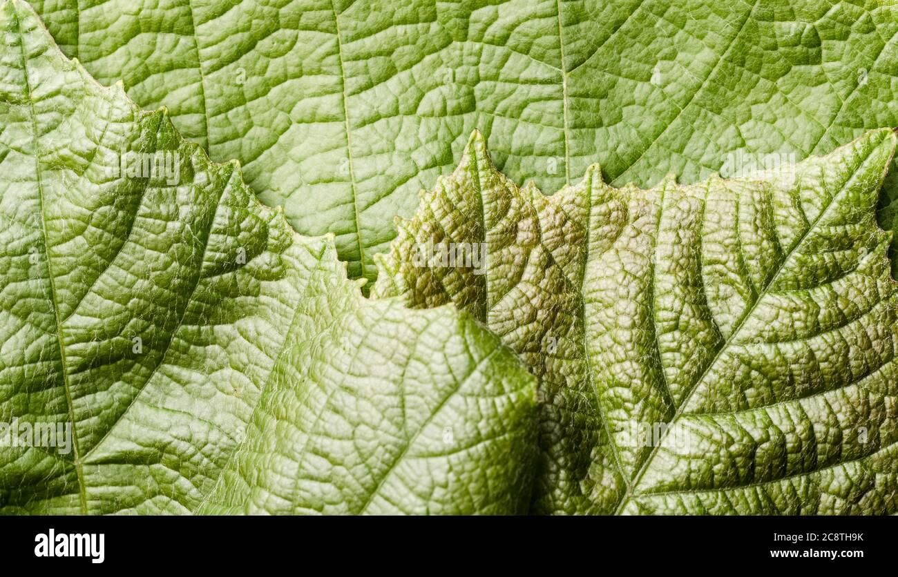 Vitis vinifera, grüne Weinrebenblätter mit feinen Details, Nahaufnahme, flache Lage Stockfoto