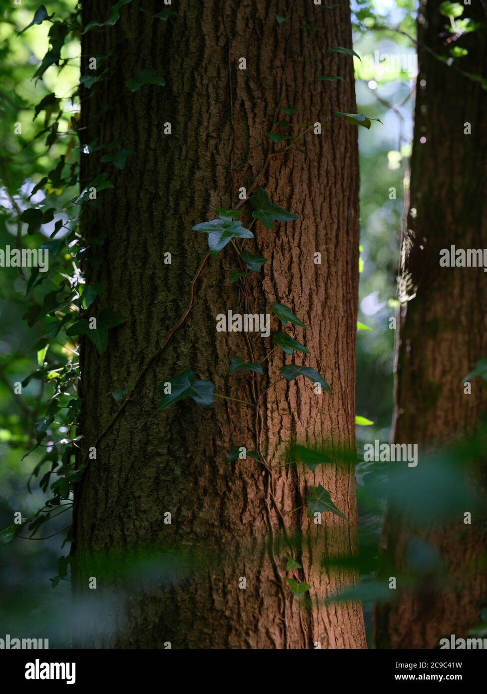 Hedera helix, Efeu, Efeu, Efeu, Efeu, oder einfach nur Efeu, eine blühende Pflanze aus der Familie Araliaceae, eine immergrüne Kletterpflanze. Stockfoto