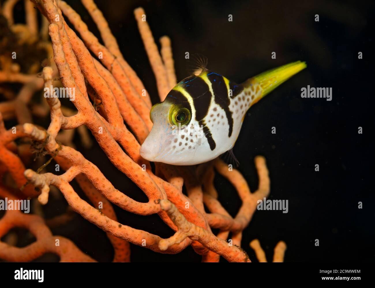 Schwarz-gesattelt Toby, Canthigaster Valentini, am Ventilator Korallen in Tulamben, Bali, Indonesien Stockfoto