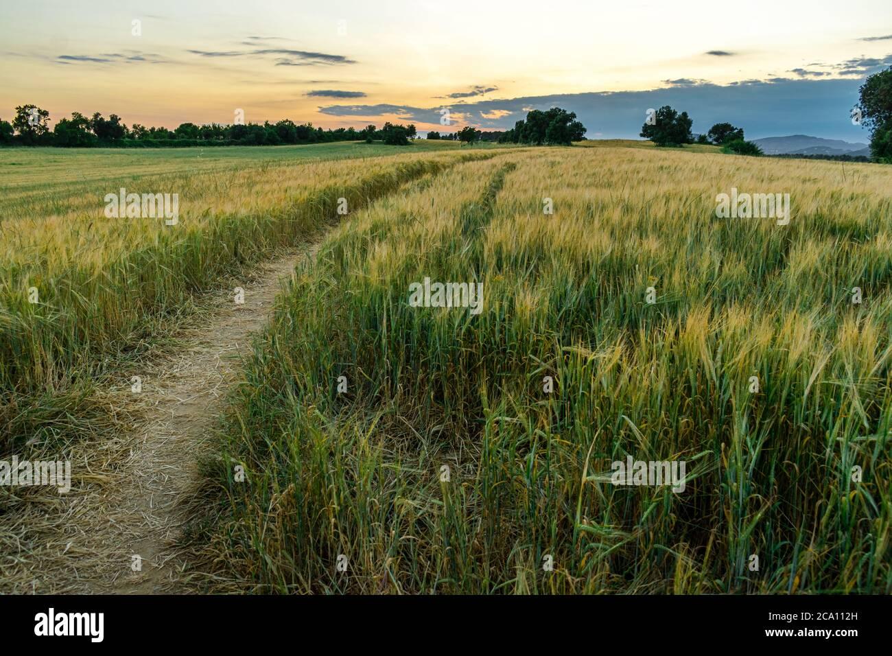 Horizontales hdr-Bild eines Pfades über einem Weizenfeld bei Sonnenuntergang. Stockfoto