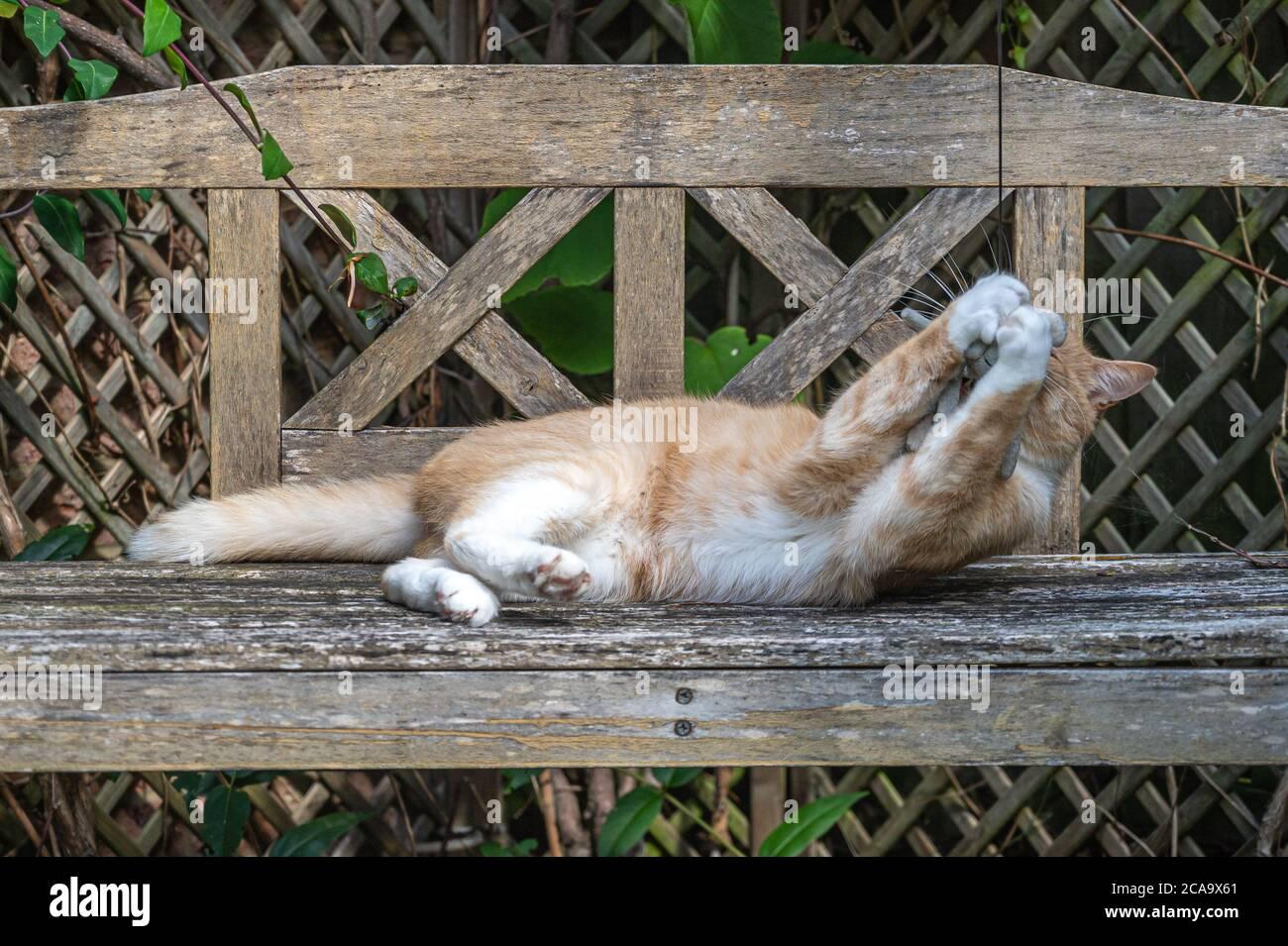 Verspielte Ingwerkatze auf Holzbank mit weißen Pfoten um Katzenspielzeug Stockfoto