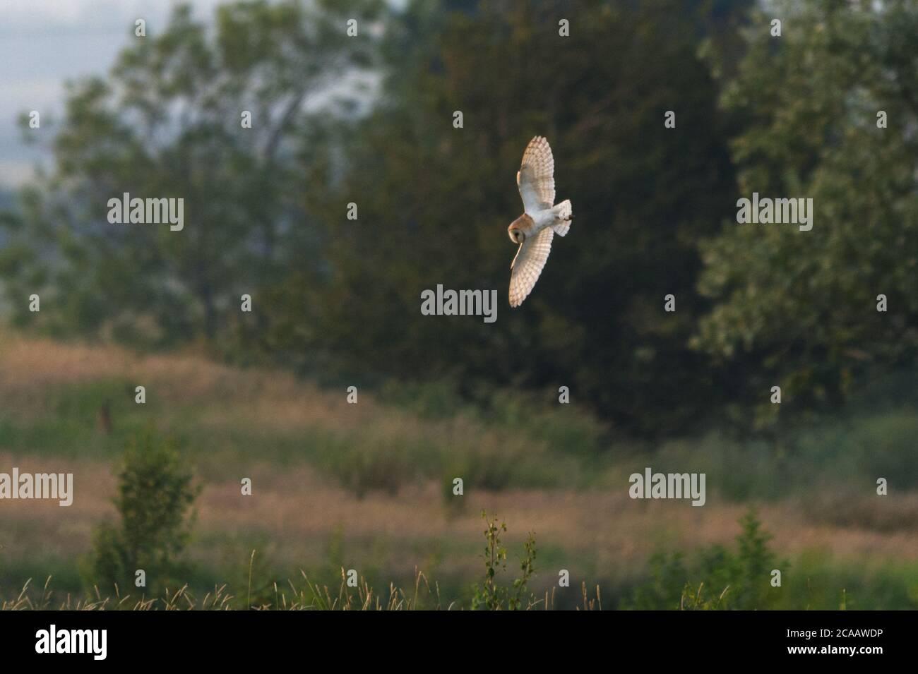 Scheune Eule im Flug mit Flügeln voll offene Quartering über Feld, Jagd nach Beute, leicht hinterleuchtet. Stockfoto