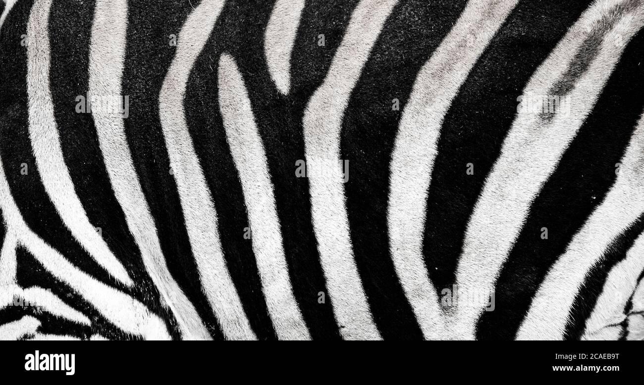 Hintergrund, auf dem die Struktur des Versteckes des Zebras dargestellt ist, das beste Foto Stockfoto