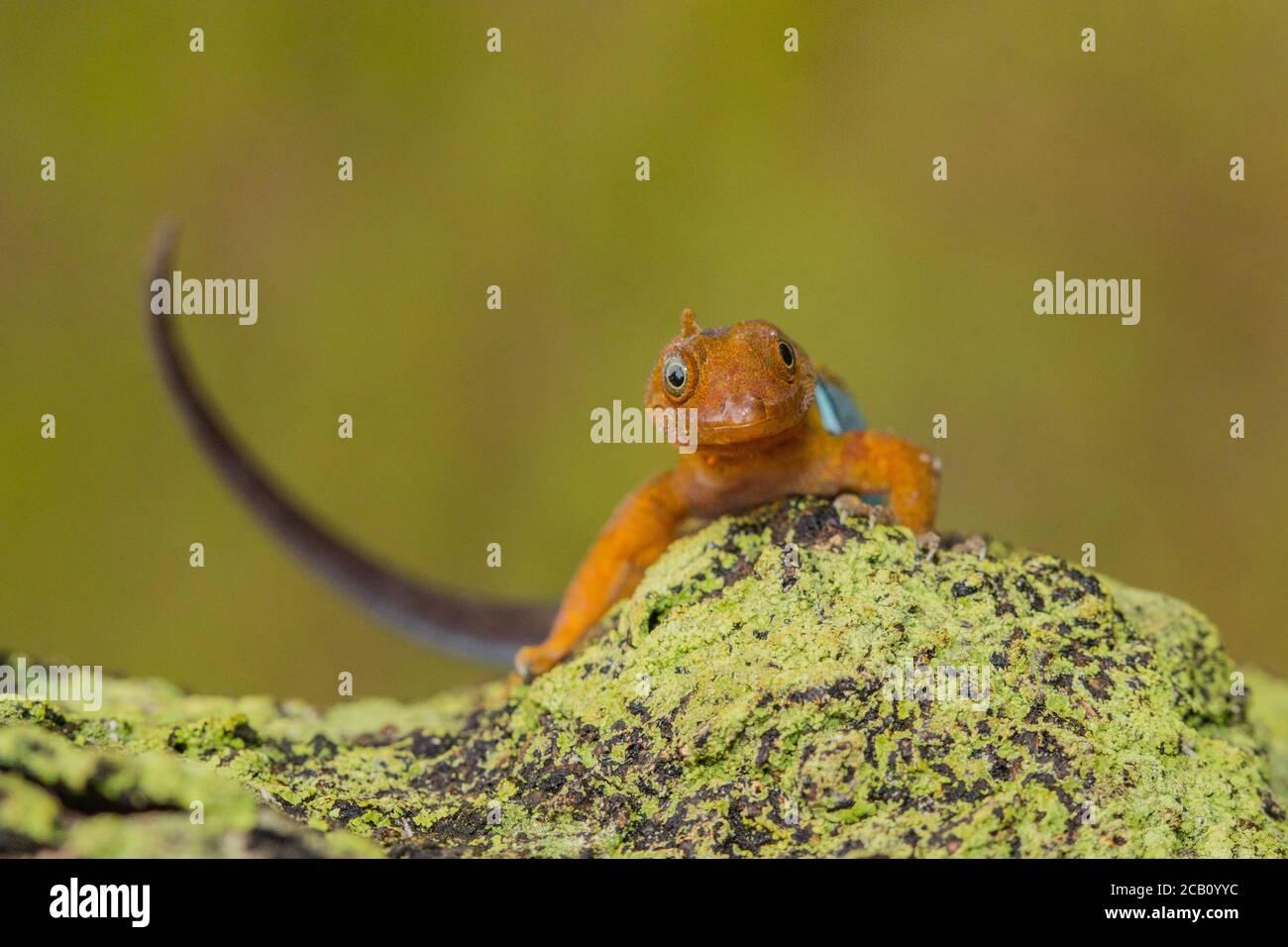 Gonatodes ist eine Gattung der Zwerggeckos der Neuen Welt aus der Familie Sphaerodactylidae, Kolumbien Stockfoto