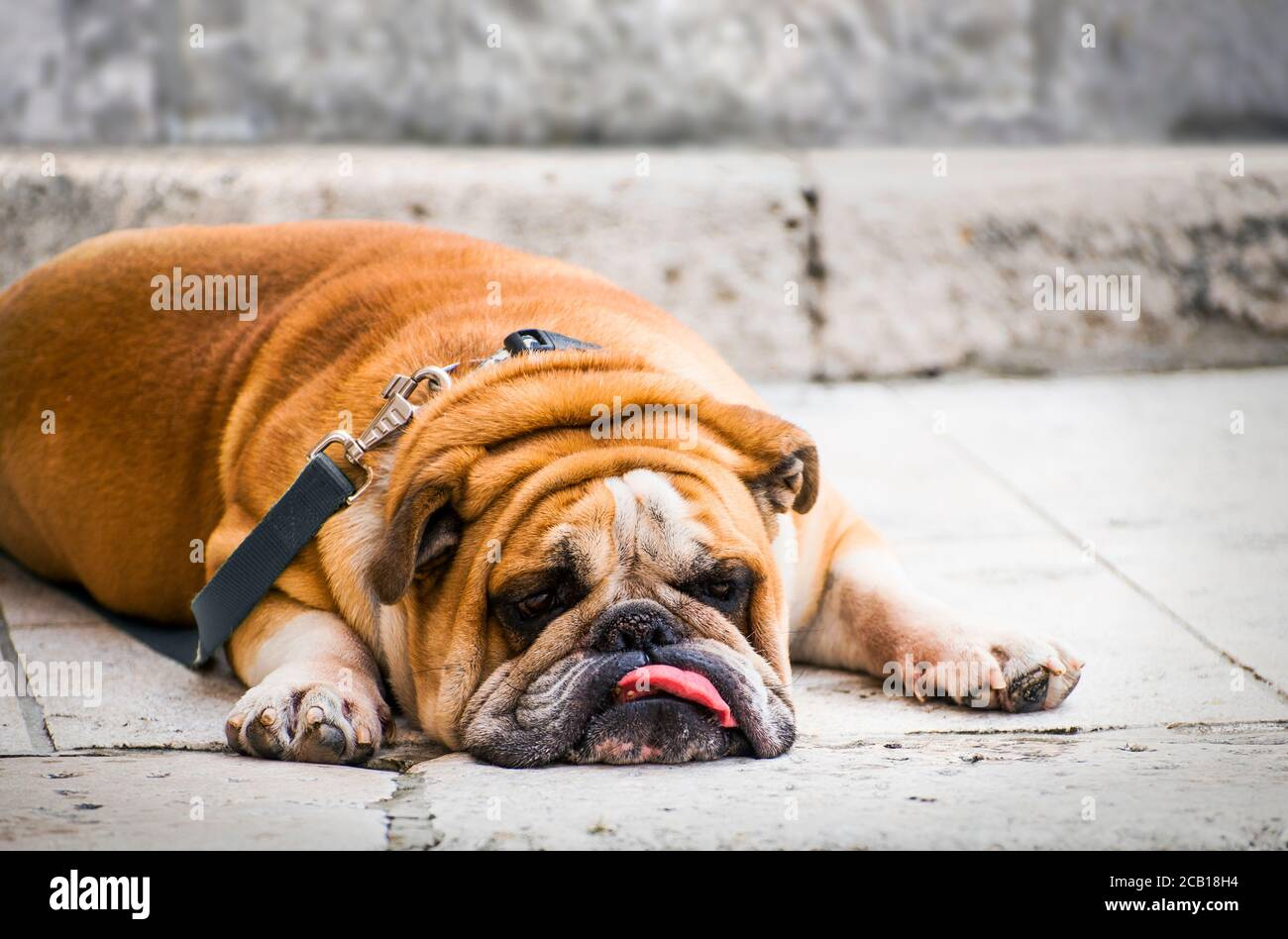 Old English Bulldog Stockfotos Und Bilder Kaufen Seite 2 Alamy