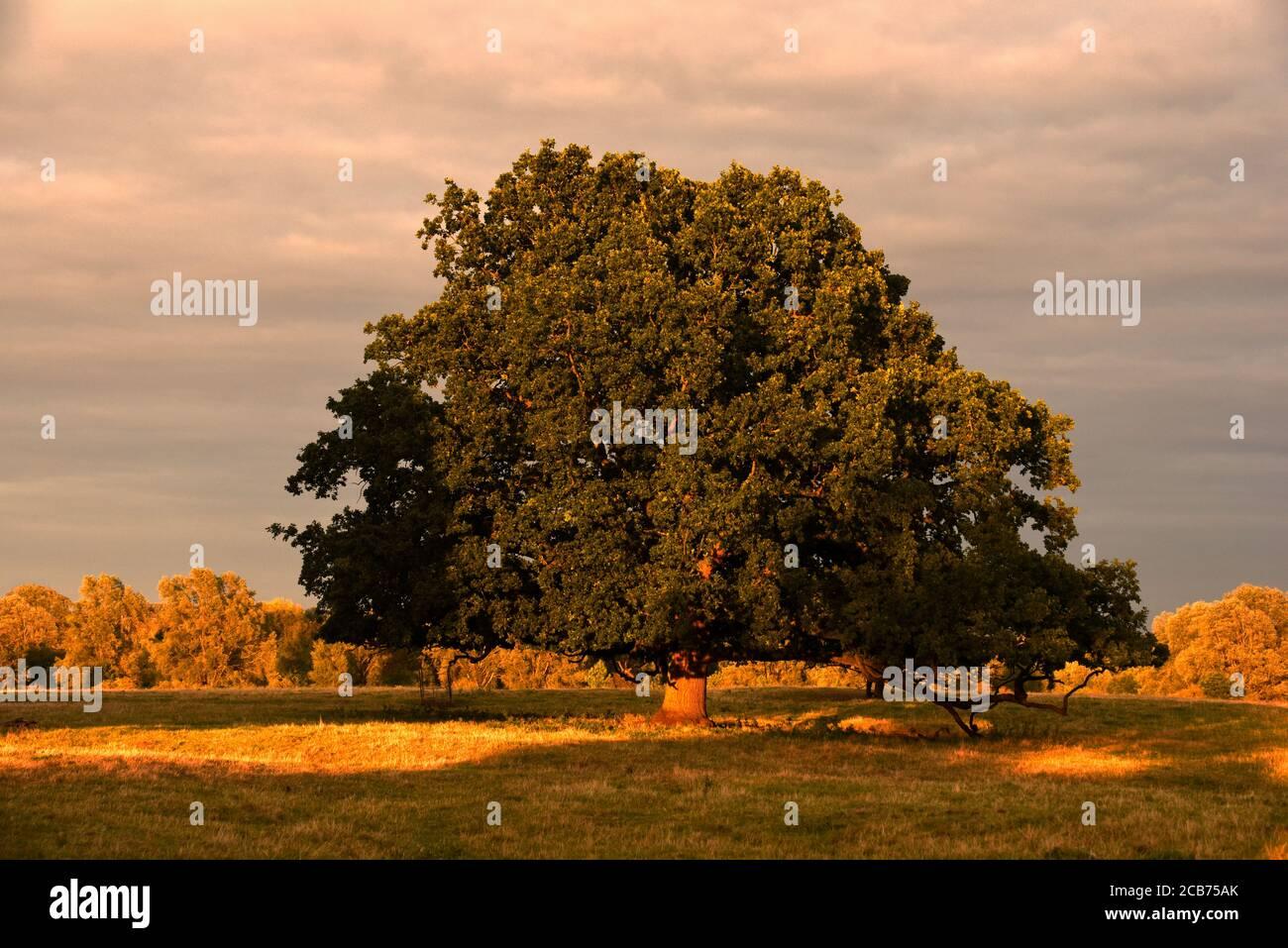 Eine Eiche, die am Ende in goldenes Licht getaucht ist Von einem schönen Septembertag in Buckinghamshire Stockfoto