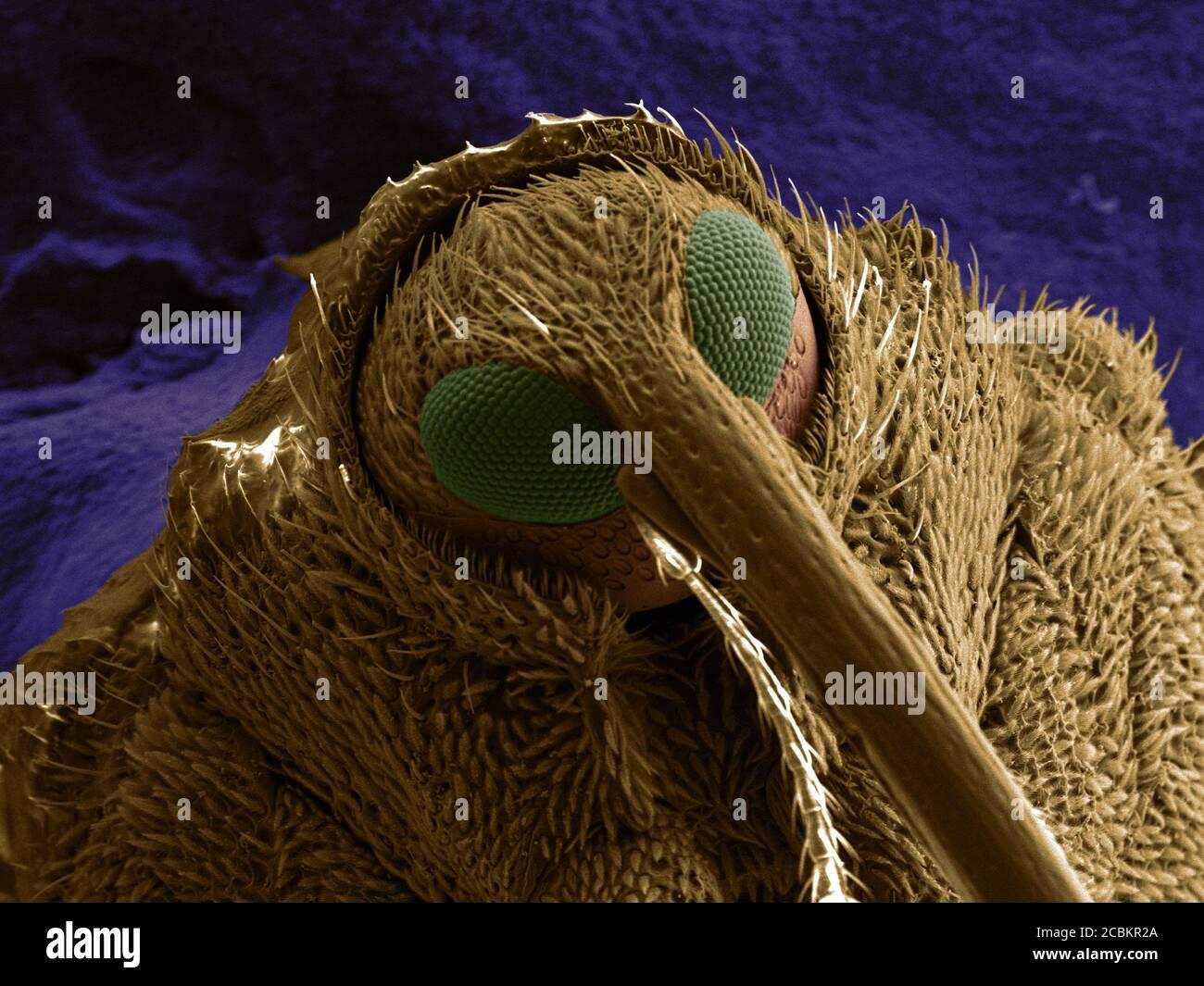 SEM Bild von Schnauzenkäfer Stockfoto
