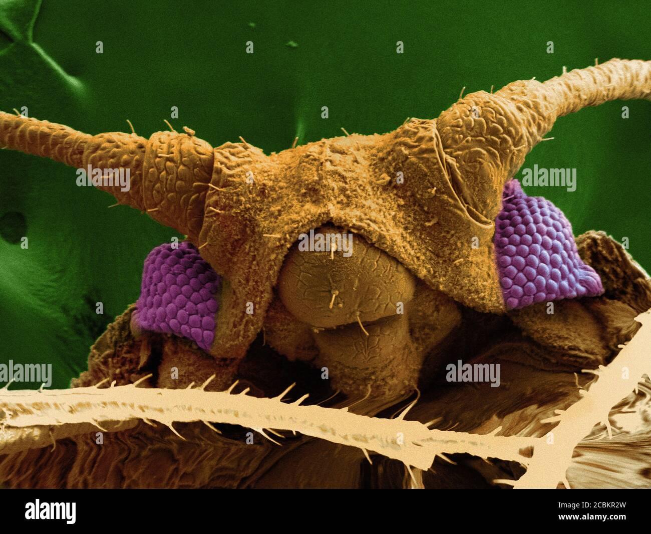 SEM-Bild der Blattläuse Stockfoto