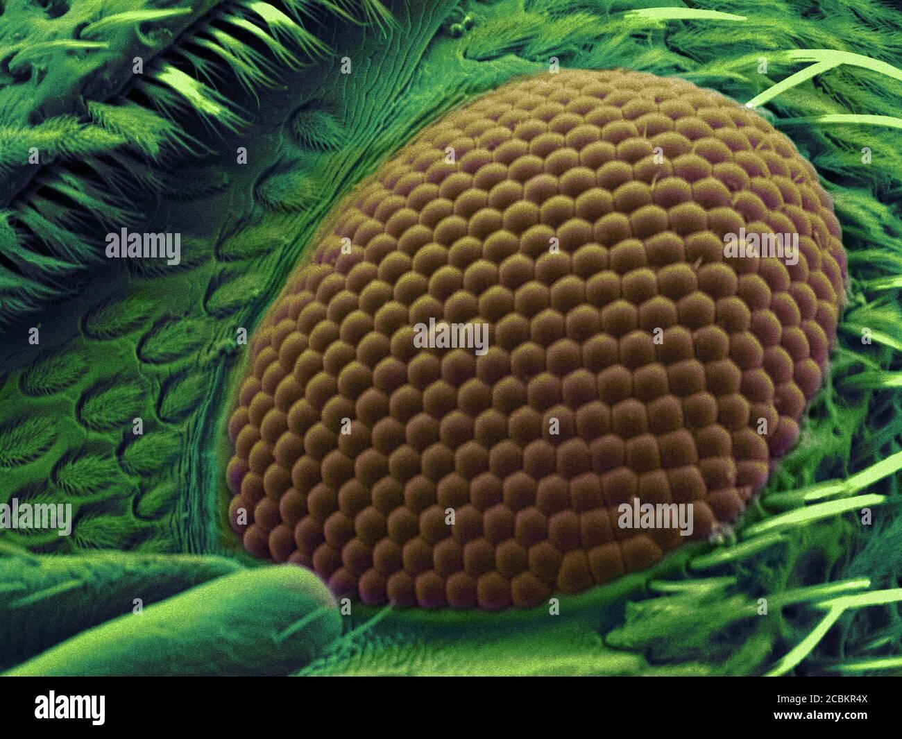 SEM-Bild von Schnauzenkäfer Auge Stockfoto