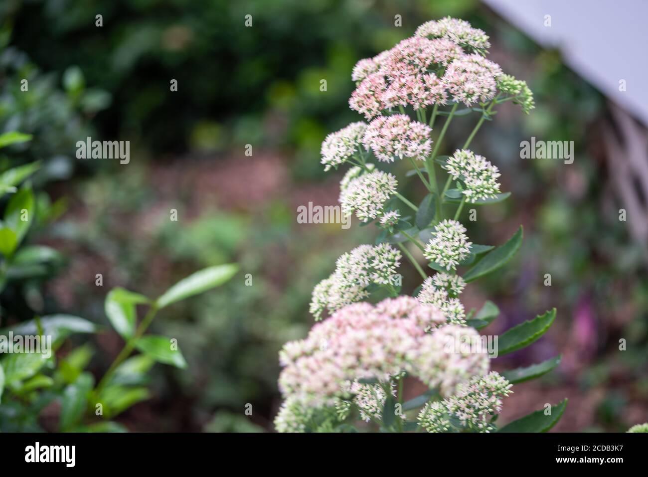 Geschmorte Rhabarber Mountain Sedum sukkulents in voller Blüte im Sommer. Stockfoto