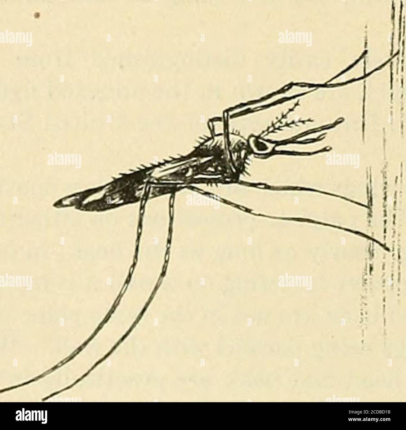 . Die Praxis der Medizin; ein Lehrbuch für Praktiker und Studenten, mit besonderem Bezug auf Diagnose und Behandlung . Abb. 8. – Anopheles piinctipennis – weiblich, mit männlicher Antenne links, und Flügeltopblechung links, vergrößert. Abb. 9. – Culex taniorhynchus – weiblich, zeigt den kurzen Palpi, der sich von Anopheles unterscheidet; gezahnte vordere Tarsalclaw rechts, vergrößert.. Abb. 10. – Ruheposition der Anopheles, vergrößert. Stockfoto