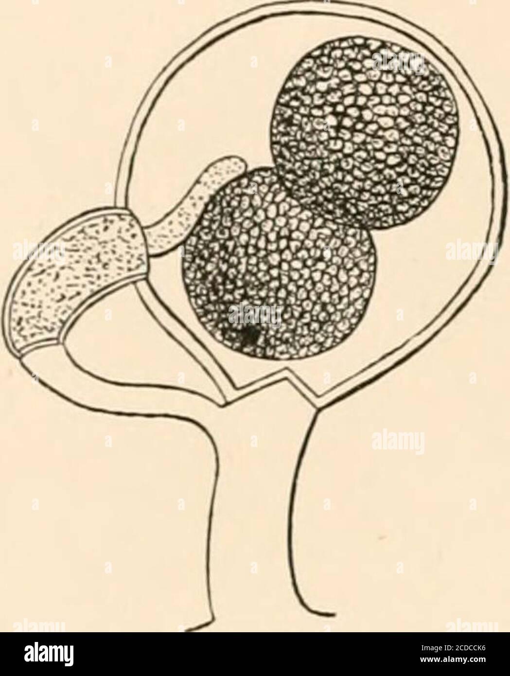 . Einführung in die Studie von Pilzen, ihre Organographie, Klassifizierung und Verteilung für den Einsatz von Sammlern . von XicWya. Aber neigen zum Oogonium. TheirAfter DeBary. ^^^^ Extremität wird eng an der Wand angebracht, und wird leicht aufgeblasen oben, und abgeschnitten unten durch Aseptum. Es ist dann eine längliche Zelle, oder Antheridium, gefüllt mit Protoplasma. Jedes Oogonium besitzt eine oder mehrere der Erdtheridien. In der Zeit, in der die Oogonium gebildet werden, projiziert jedes Antheridium in das Innere des Oogonium ein oder mehr röhrenförmige Prozesse, die durch ihre Extremitiesto die angewendet werden Stockfoto