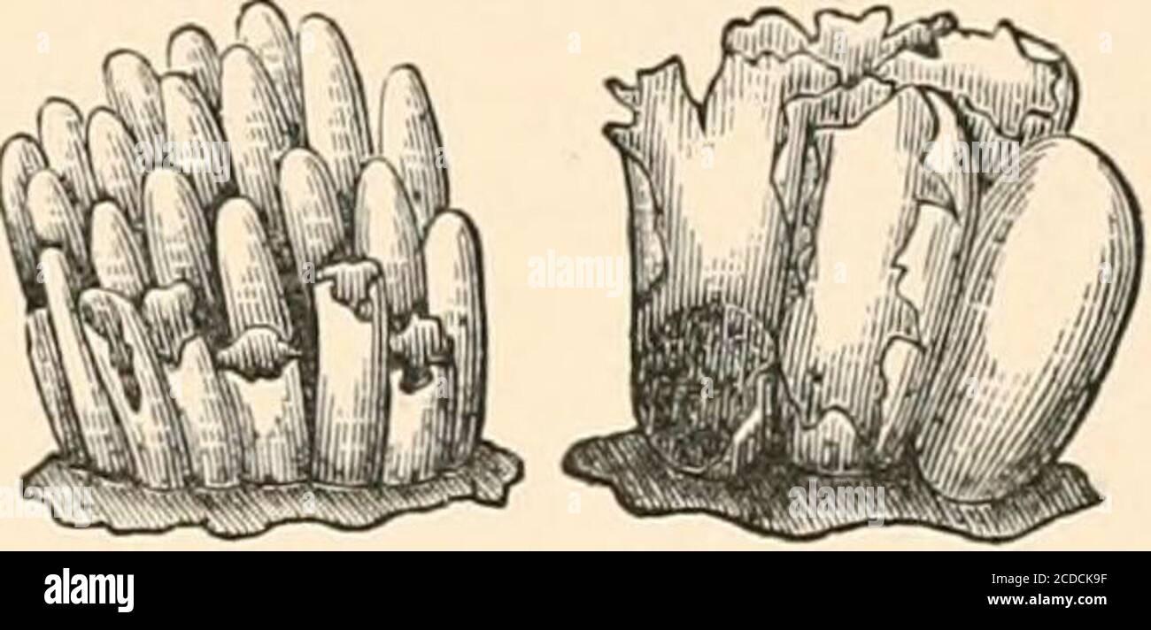 . Einführung in die Erforschung von Pilzen, ihre Organographie, Klassifizierung und Verteilung für den Einsatz von Sammlern. Thrapid Jogging Bewegung. Ständige Beobachtung wurde während dieser Stunde gehalten, und die Bazillen wurden allmählich gesehen, um die Vakuolen, in denen sie lagen, zu lösen, bis endlich alle Spur von ihnen verschwunden war, zusammen mit ihren enthaltenden Vakuolen, und nur das vertragschließende Vakuol blieb in der homogenen granulären Substanz der Schwarmzelle. Zu Beginn der Beobachtung war dieses Granularprotoplasma viel trüber als am Ende, als es bemerkenswert hyalin war Stockfoto