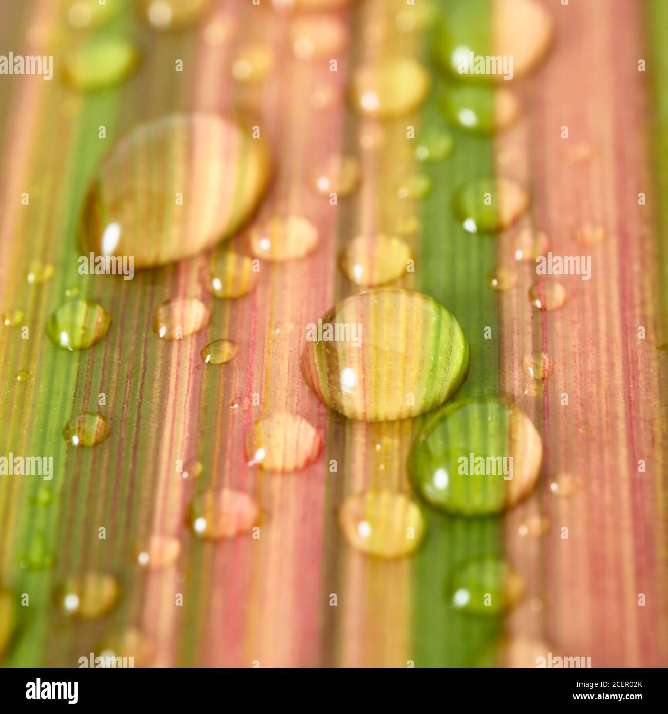Wassertropfen auf Blatt von neuseeländischem Flachs, phormium Tenax. Stockfoto