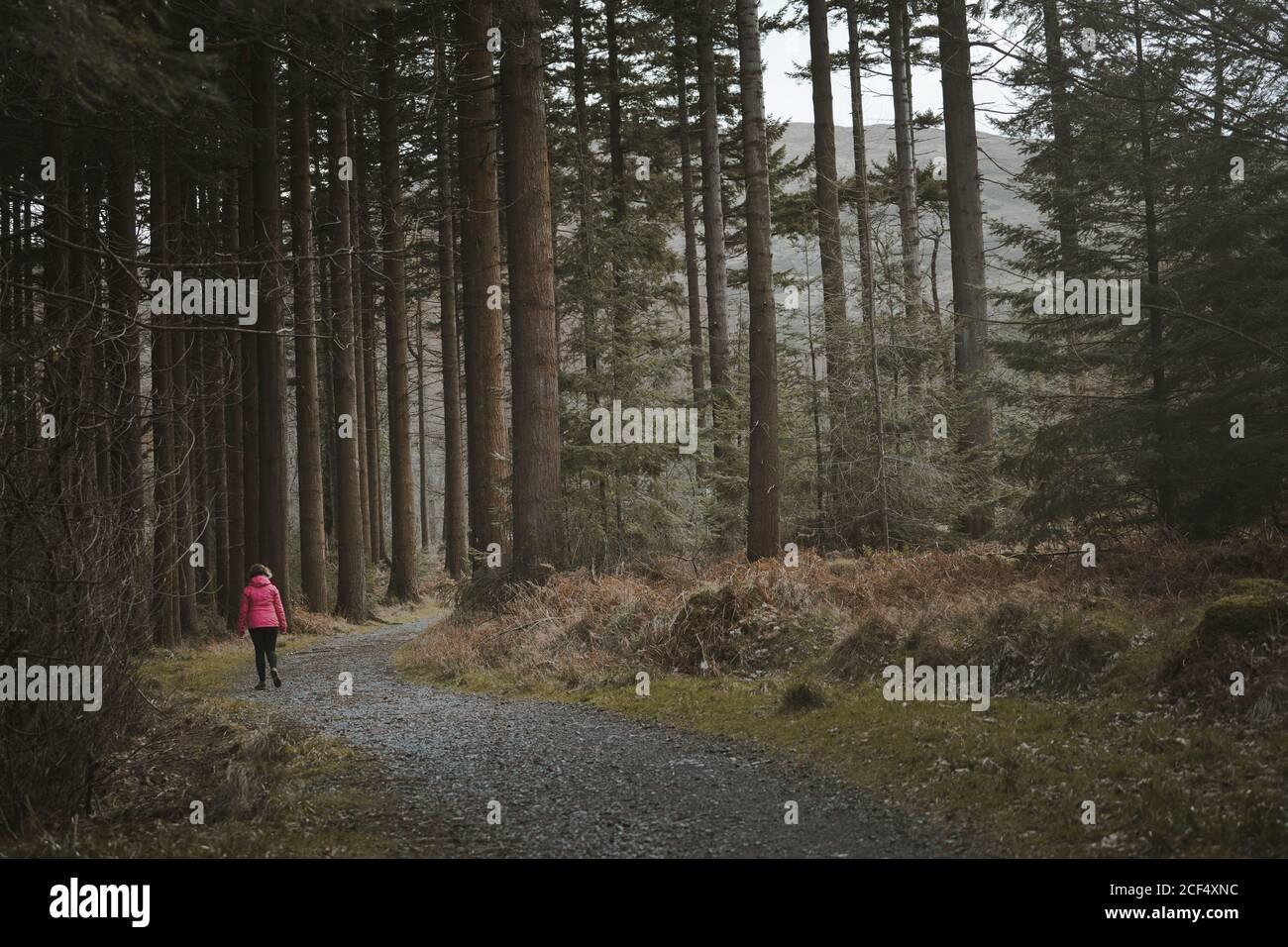 Rückansicht der anonymen Frau Reisende in warmer Jacke zu Fuß Auf dem Wald beim Besuch des Tollymore Forest Park in Nordirland Im Frühling Tag Stockfoto