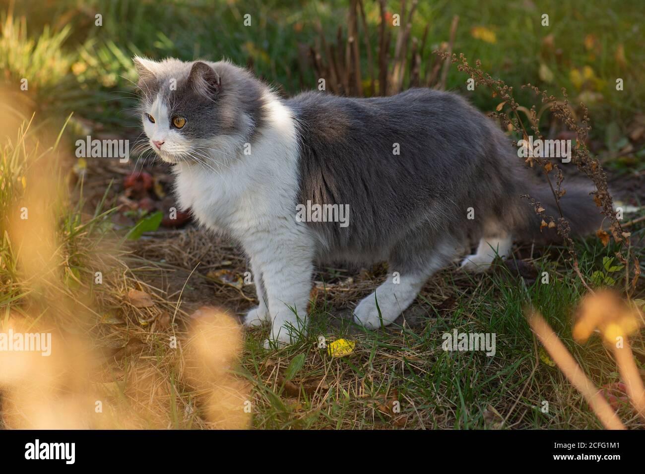 Lustige Kätzchen in gelben Herbstblättern. Katze spielt im Herbst mit Laub. Britisches Kätzchen in farbigen Blättern auf der Natur. Stockfoto