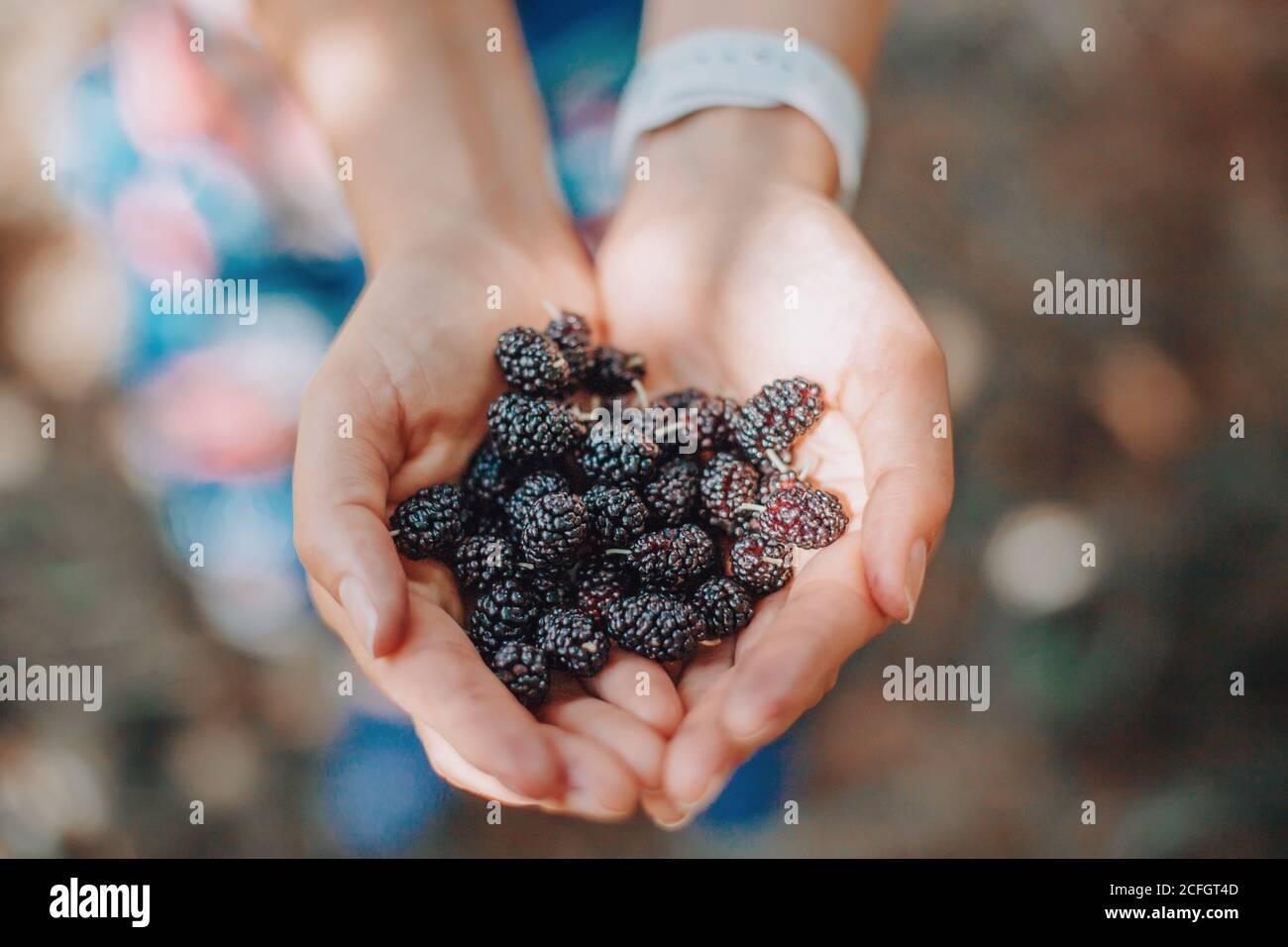 Nahaufnahme der menschlichen Hände mit frischen reifen Sommerbeeren. Eine Handvoll schwarzer Maulbeeren. Bauer Sammeln Ernte saisonalen Beeren Ernte von Baum bei cou Stockfoto