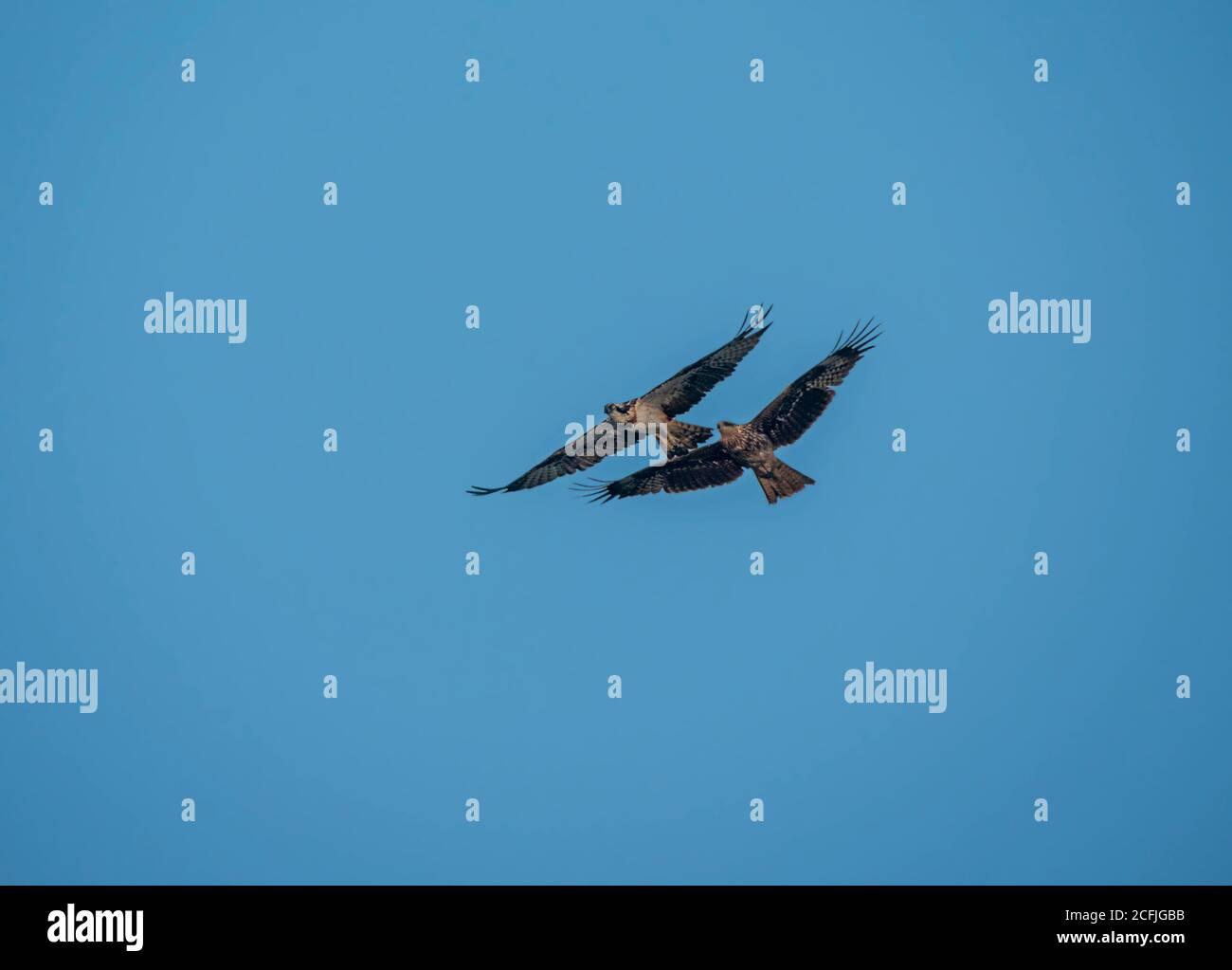 Raubvögel in der Tierwelt Pakistans Stockfoto