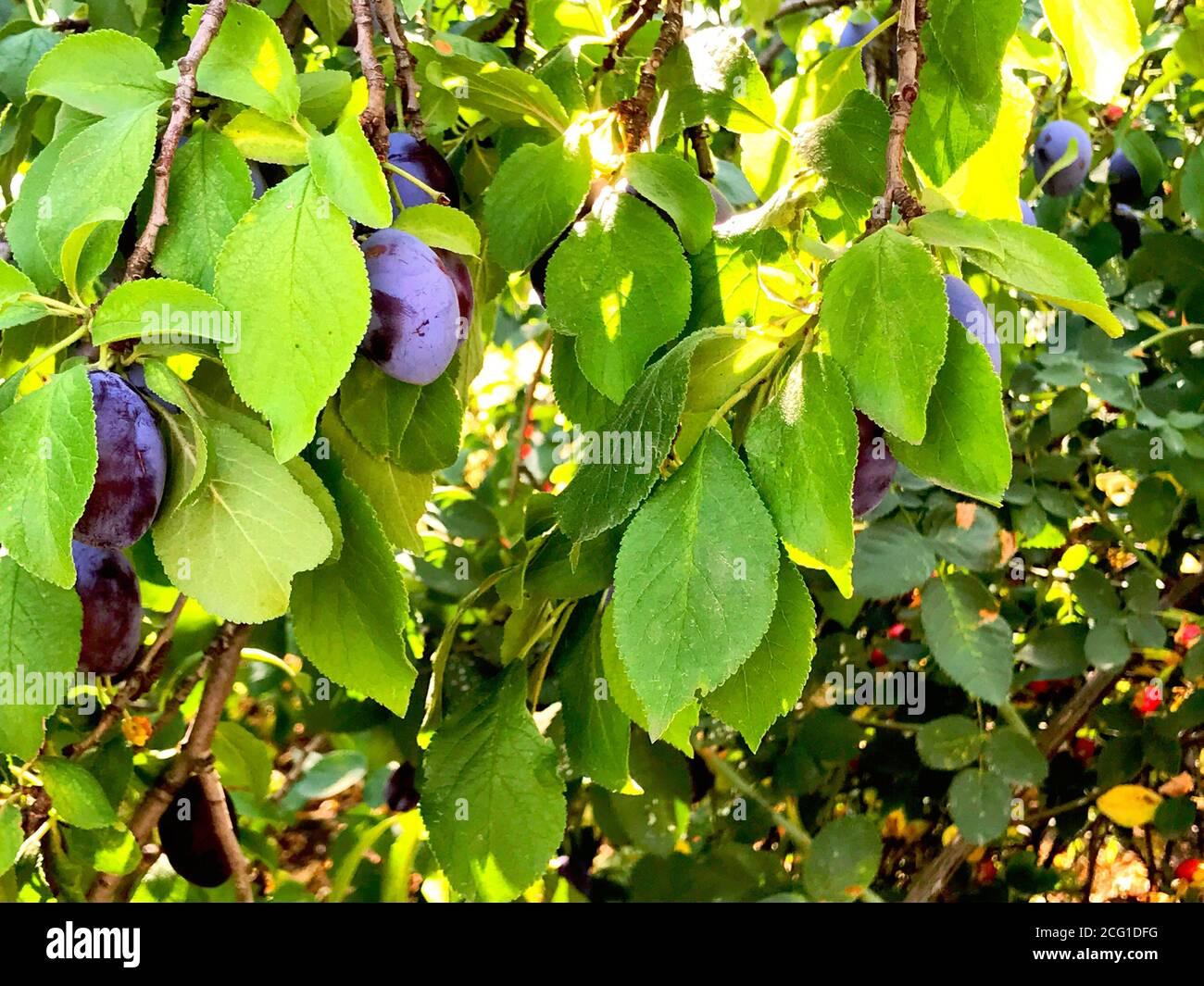 Frische reife blauen Pflaumen am Baum im Sommergarten Stockfoto