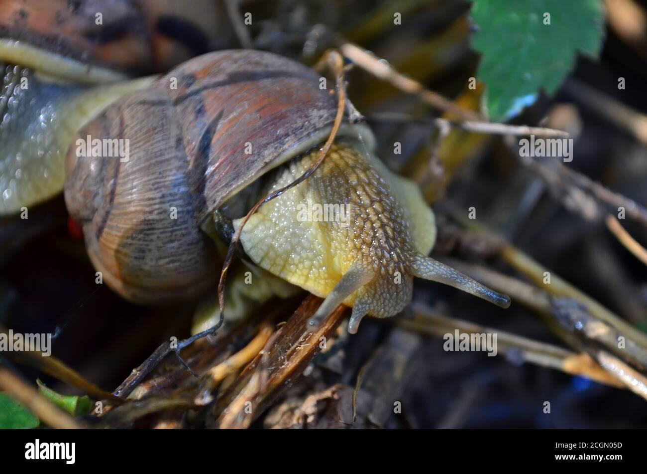 Gastropode. Gemeinsame Gartenschnecke kriecht auf trockenen Ästen. Fauna der Ukraine. Geringe Schärfentiefe, Nahaufnahme. Stockfoto
