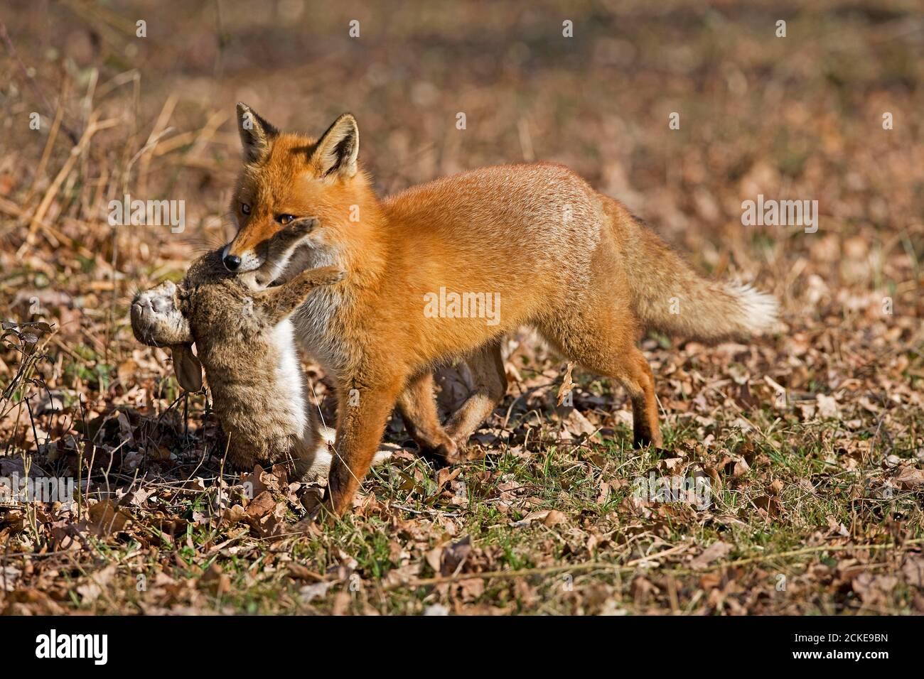 Rotfuchs, Vulpes Vulpes, Männchen mit einem Kill, Wildkaninchen, Normandie Stockfoto