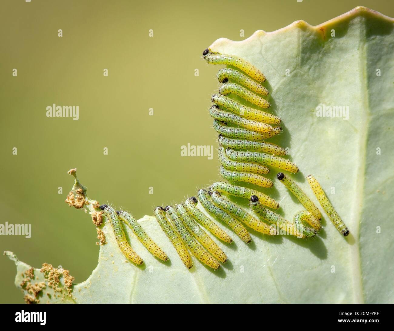 Viele Raupen des großen Kohlweissen Schmetterlings (Pieris brassicae), die sich auf einem Kohlblatt ernähren. Stockfoto