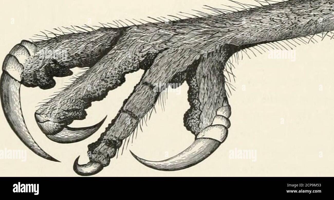 . Schlüssel zu nordamerikanischen Vögeln. Mit einer kurzen Darstellung aller lebenden und fossilen Vogelarten, die derzeit vom Kontinent nördlich der mexikanischen und US-amerikanischen Grenze bekannt sind, einschließlich Grönland und Niederkalifornien, mit denen die Allgemeine Ornithologie, eine Übersicht über die Struktur und Klassifizierung der Vögel, Und Bereich Ornithologie, ein Handbuch zum Sammeln, Vorbereiten und Konservieren von Vögeln . ^^pH Stockfoto