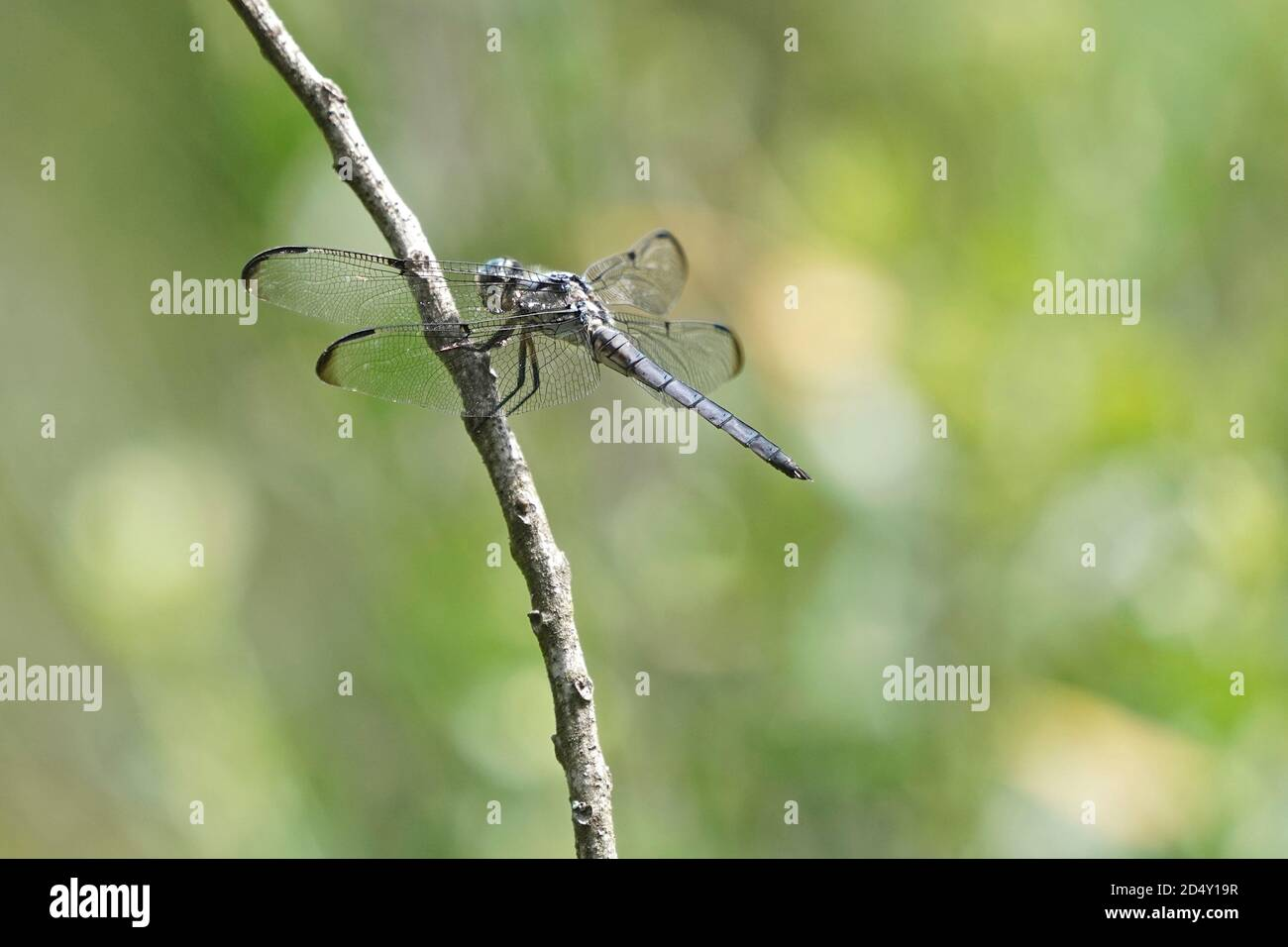 Libelle auf einem Pflanzenstamm. Stockfoto