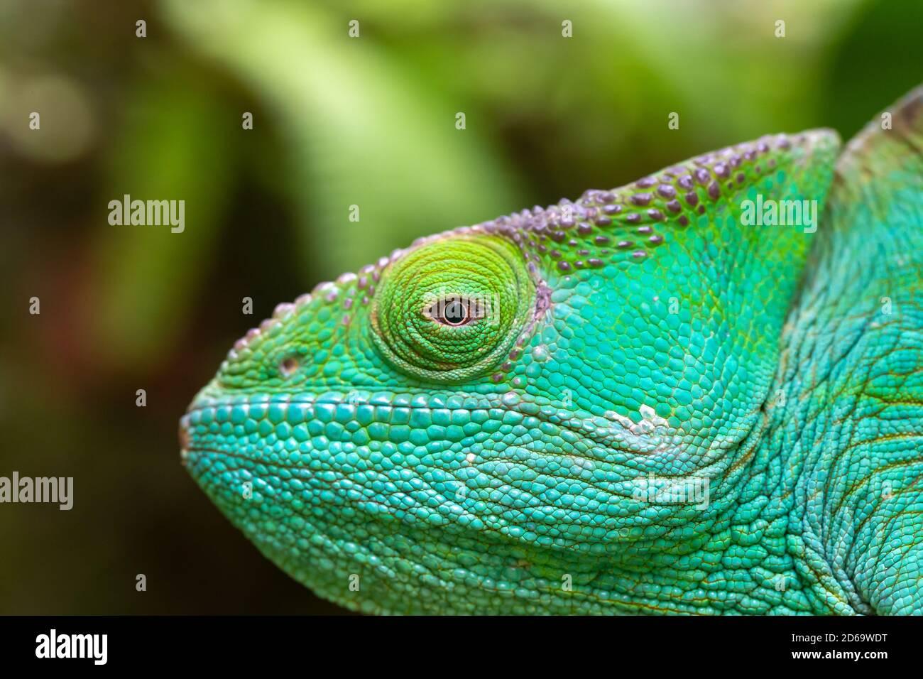 Nahaufnahme, Makroaufnahme eines grünen Chamäleons Stockfoto