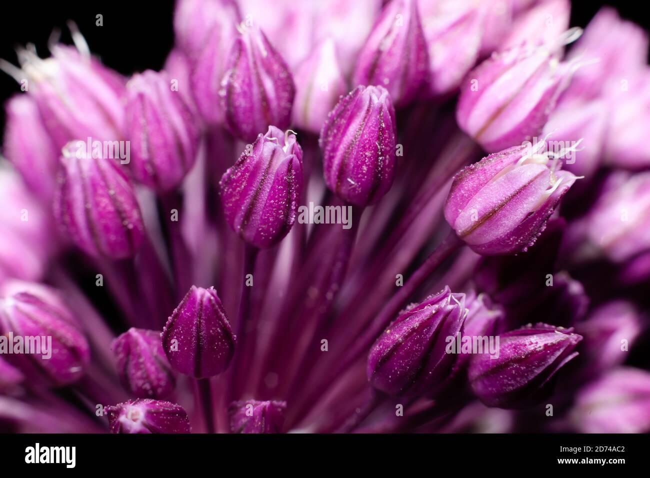 Blumen rund Zwiebeln auf schwarzem Hintergrund Stockfoto