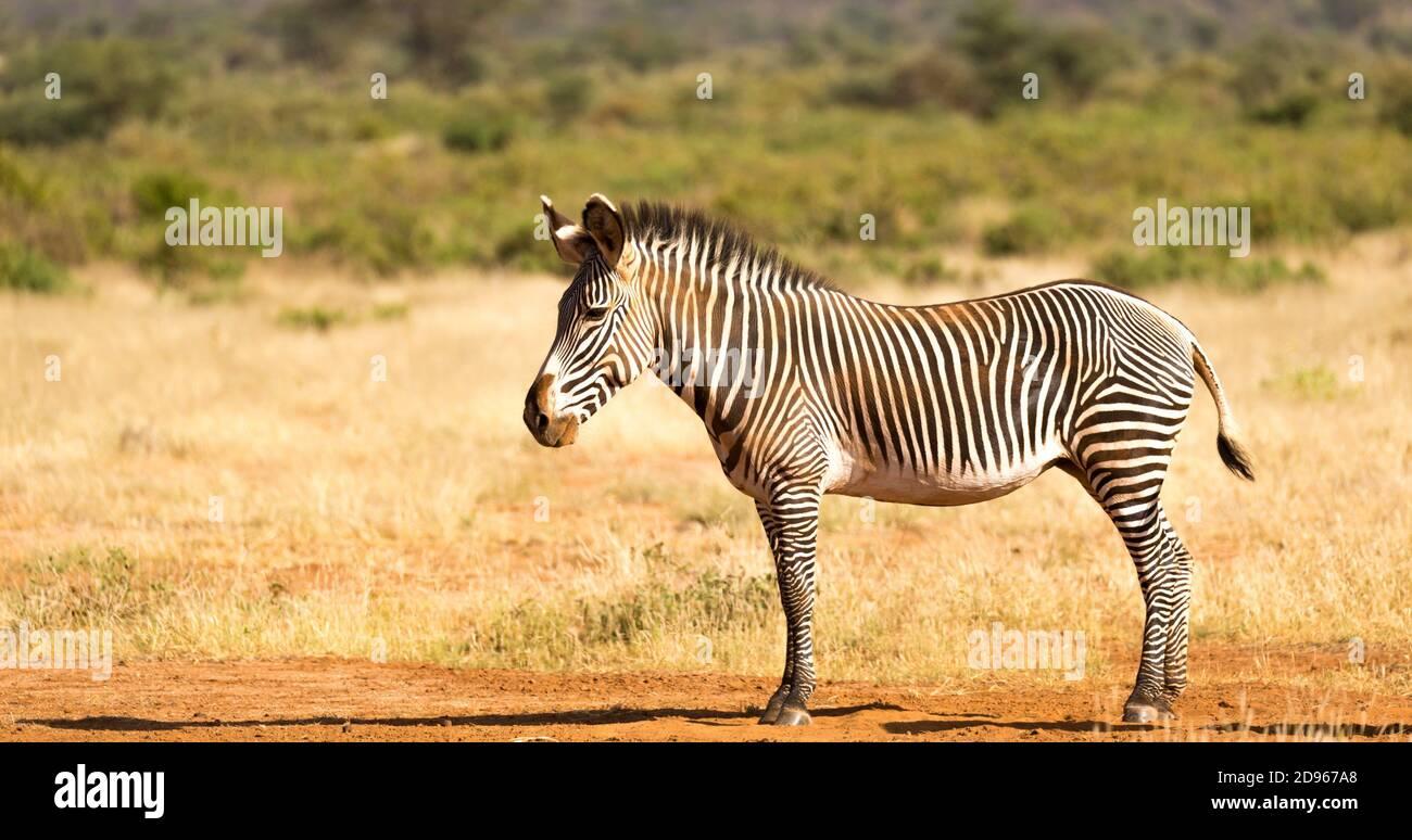 Die Grevy Zebra grast in der Landschaft von Samburu in Kenia. Stockfoto