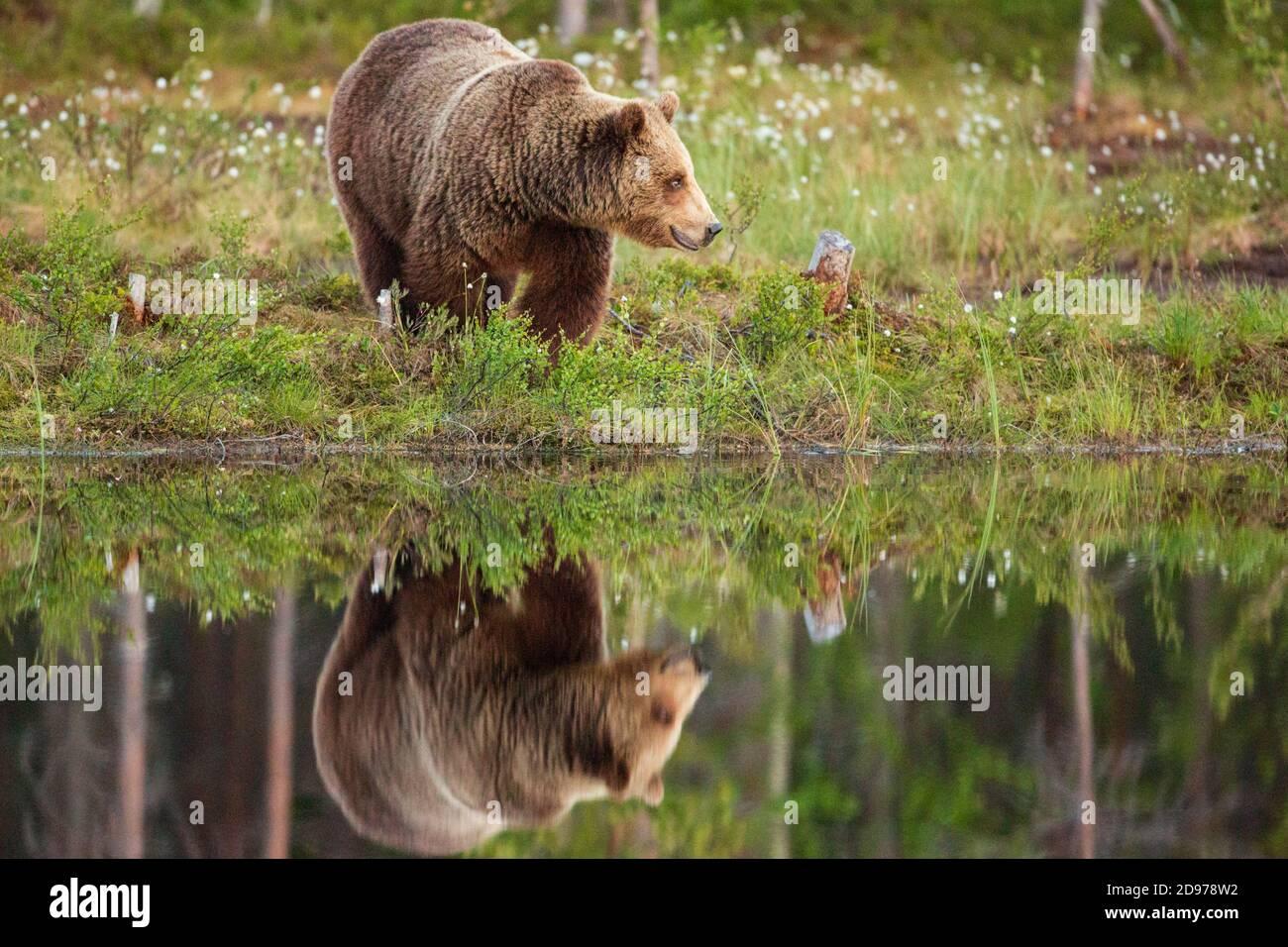Braunbär (Ursus arctos arctos) Weibchen in der Nähe eines Sees, Finnland Stockfoto