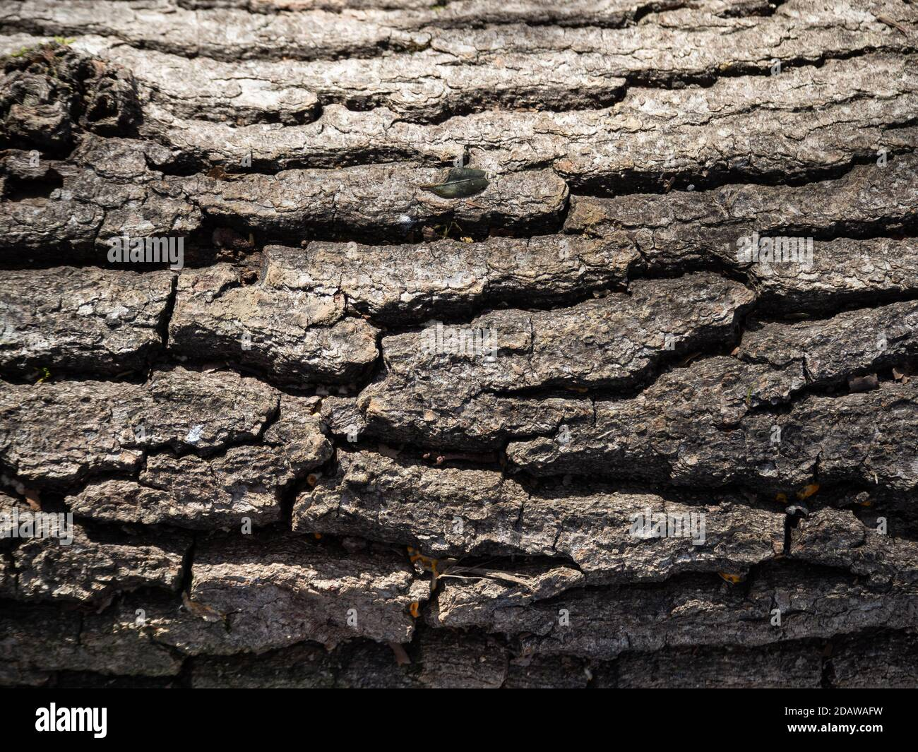 Textur des alten Baumstammes in der Natur Stockfoto
