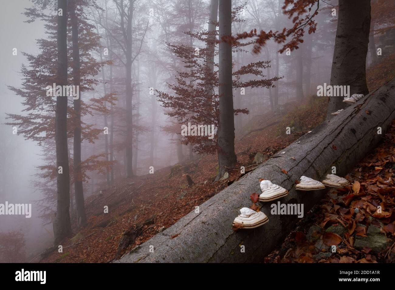 Herbstlicher Buchenwald im Mala Fatra Nationalpark an einem nebligen Tag, Slowakei. Stockfoto