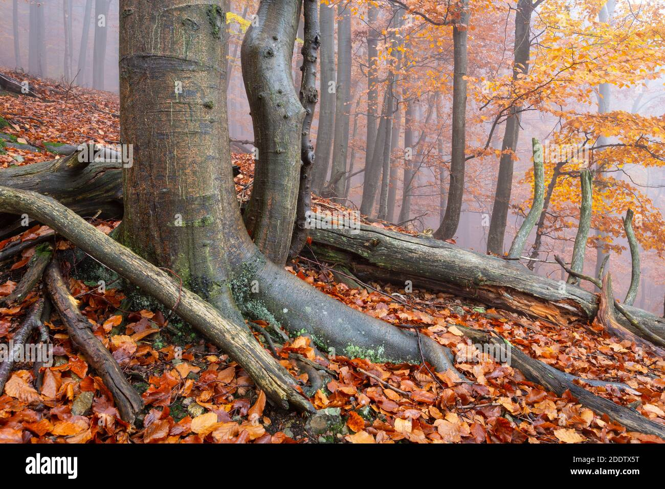 Buchenwald in Mala Fatra Nationalpark an einem nebligen Tag, Slowakei. Stockfoto