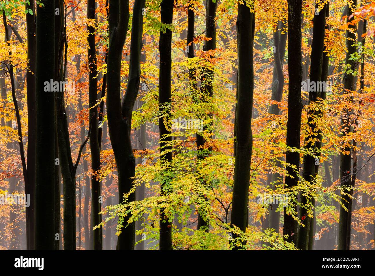 Buchenwald im Nationalpark Velka Fatra, Mittelslowakei. Stockfoto