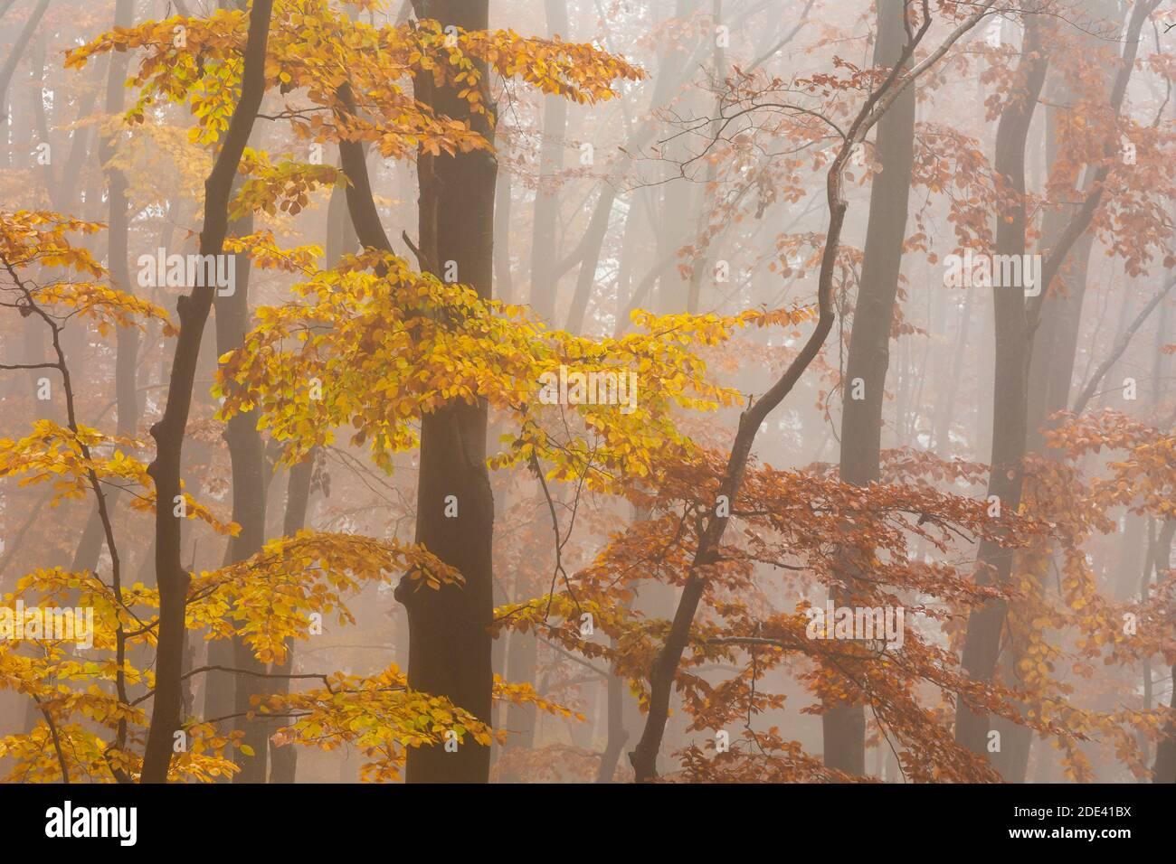 Buchenwald in Mala Fatra Nationalpark an einem nebligen Morgen, Slowakei. Stockfoto