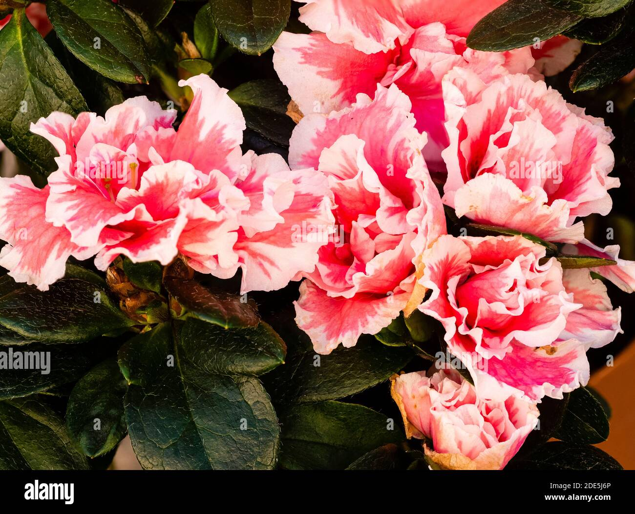 Gekräuselte Korallen rosa und weiße Doppelblüten der zarten Winterblüte immergrüne Haus- und Gewächshauspflanze, Rhododendron simsii 'Inga' Stockfoto