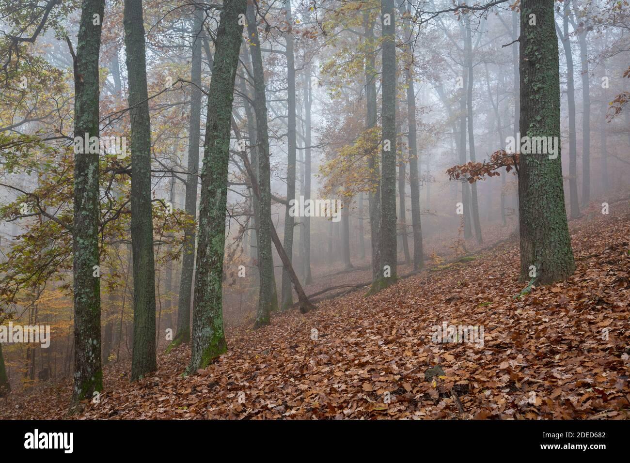 Eichenwald Autumnl in der Südslowakei. Stockfoto