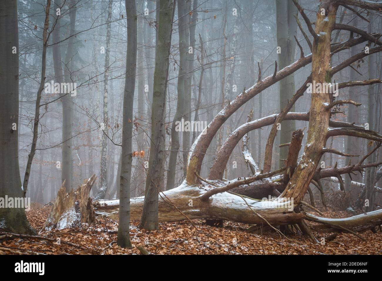 Gefallene Kiefer im Nationalpark Mala Fatra, Slowakei. Stockfoto