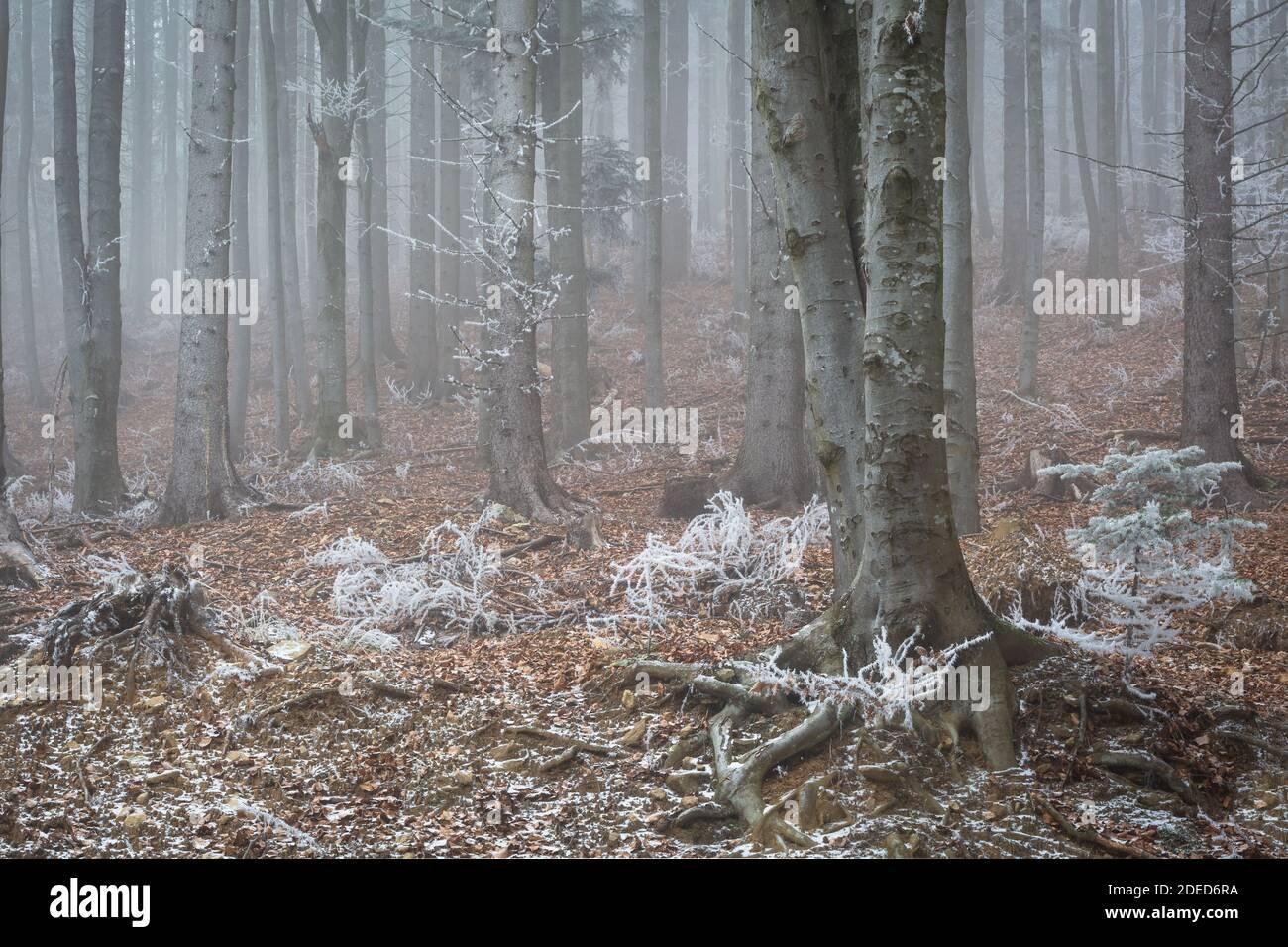 Mischwald in Mala Fatra Nationalpark an einem nebligen Wintermorgen, Slowakei. Stockfoto