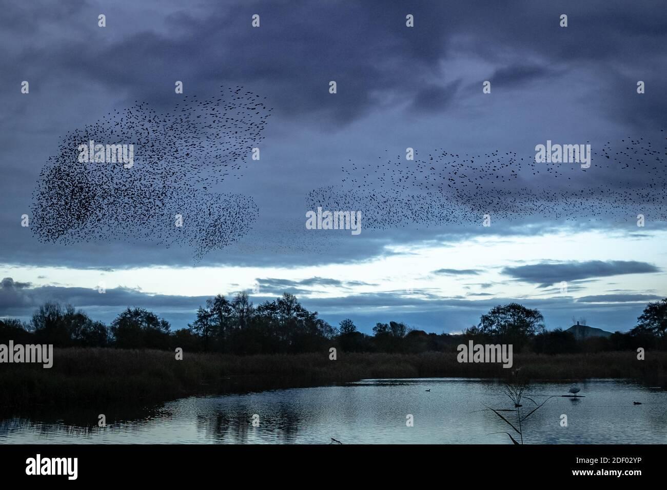 UK Wetter: Abendliche Starrauschen über Ham Wall RSPB Reserve, Teil des Avalon Sumpfgebiete Naturschutzgebiet in Somerset, UK Stockfoto