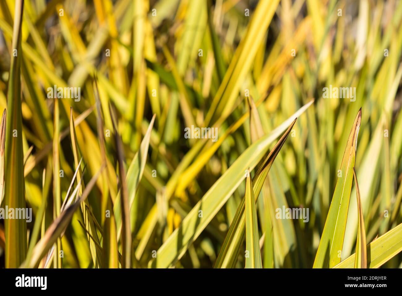 Flachs Blätter phormium Agavaceae tanax, Neuseeland Stockfoto
