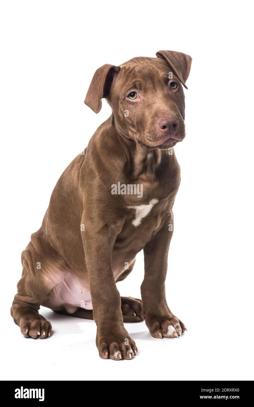 Welpen kaufen pitbull zu American Pitbull