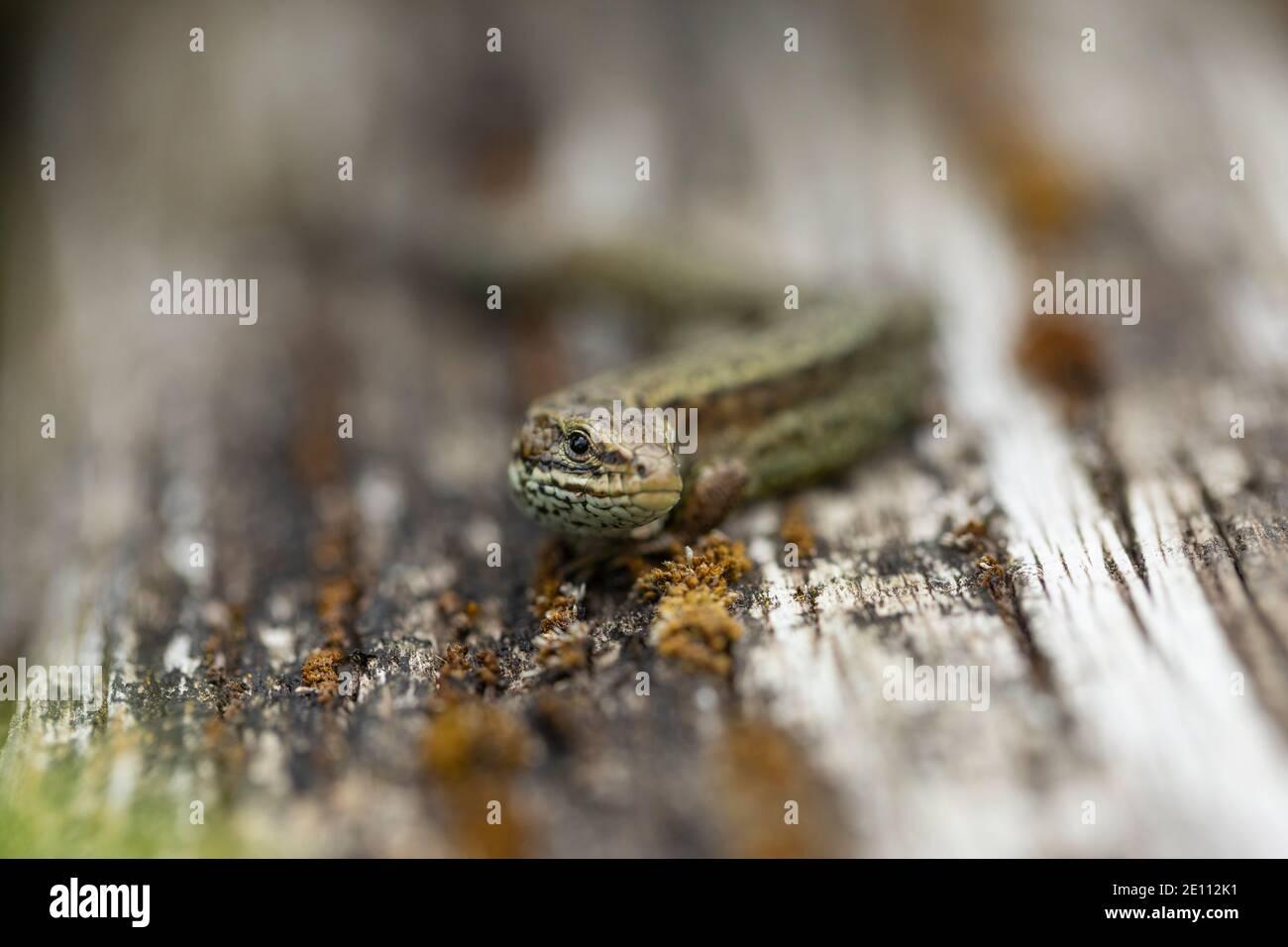 Vivparous Eidechse Zootoca vivipara, erwachsener Mann, der auf einem Holzzaun ruht, New Fancy View, Forest of Dean, Gloucestershire, Großbritannien, Juli Stockfoto