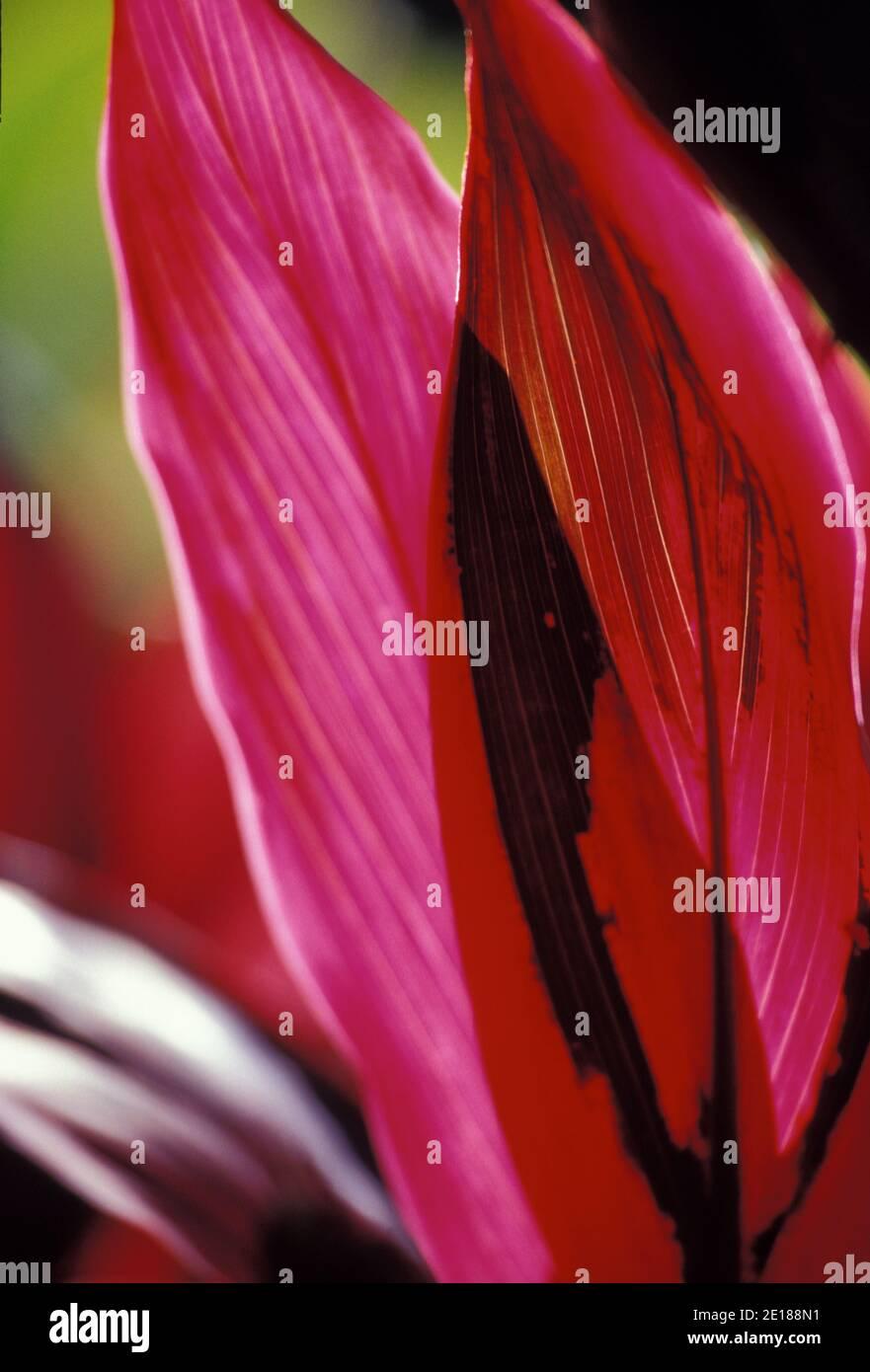 Roten Ti Blatt Closeup, Hintergrundbeleuchtung von Sonne Stockfoto