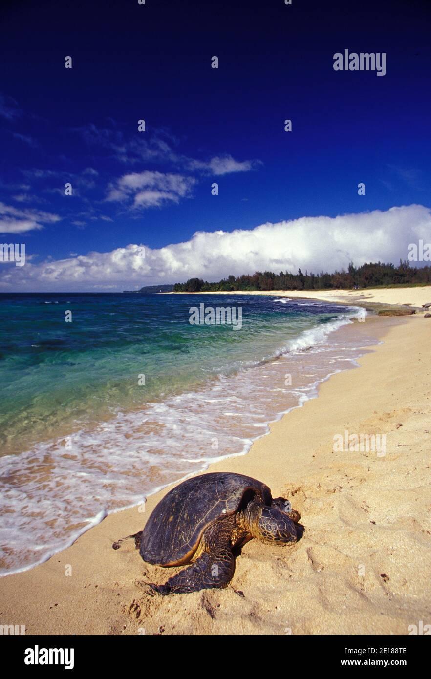 Green Sea Turtle, eine geschützte Tierart haled heraus an einem einsamen Strand mit blau grünen Ozean im Rücken, North Shore von Oahu, Hawaii Stockfoto