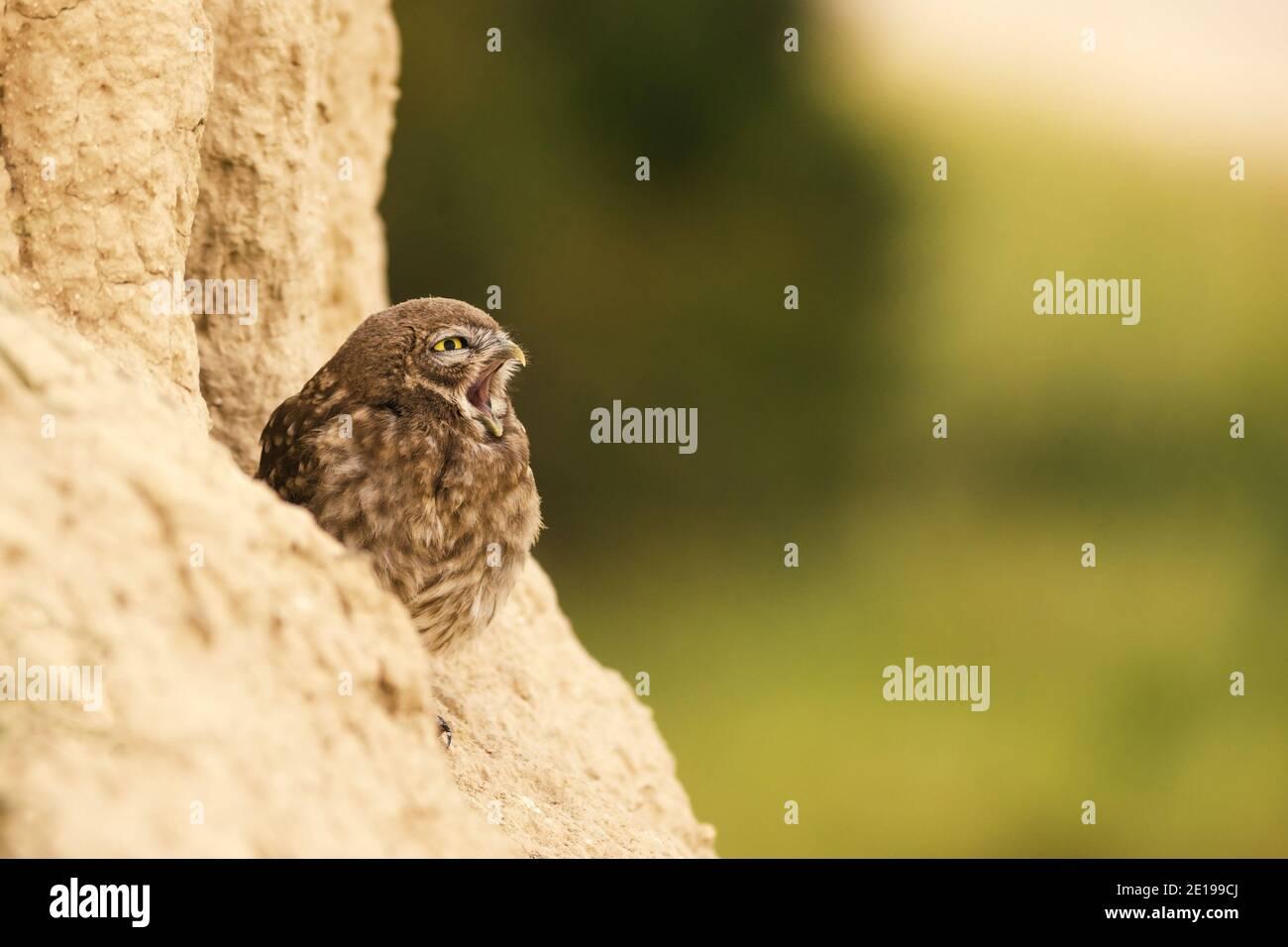 Die kleine Eule, die mit offenem Schnabel auf einem schönen Hintergrund aus seinem Loch guckt. Athene noctua. Speicherplatz kopieren Stockfoto