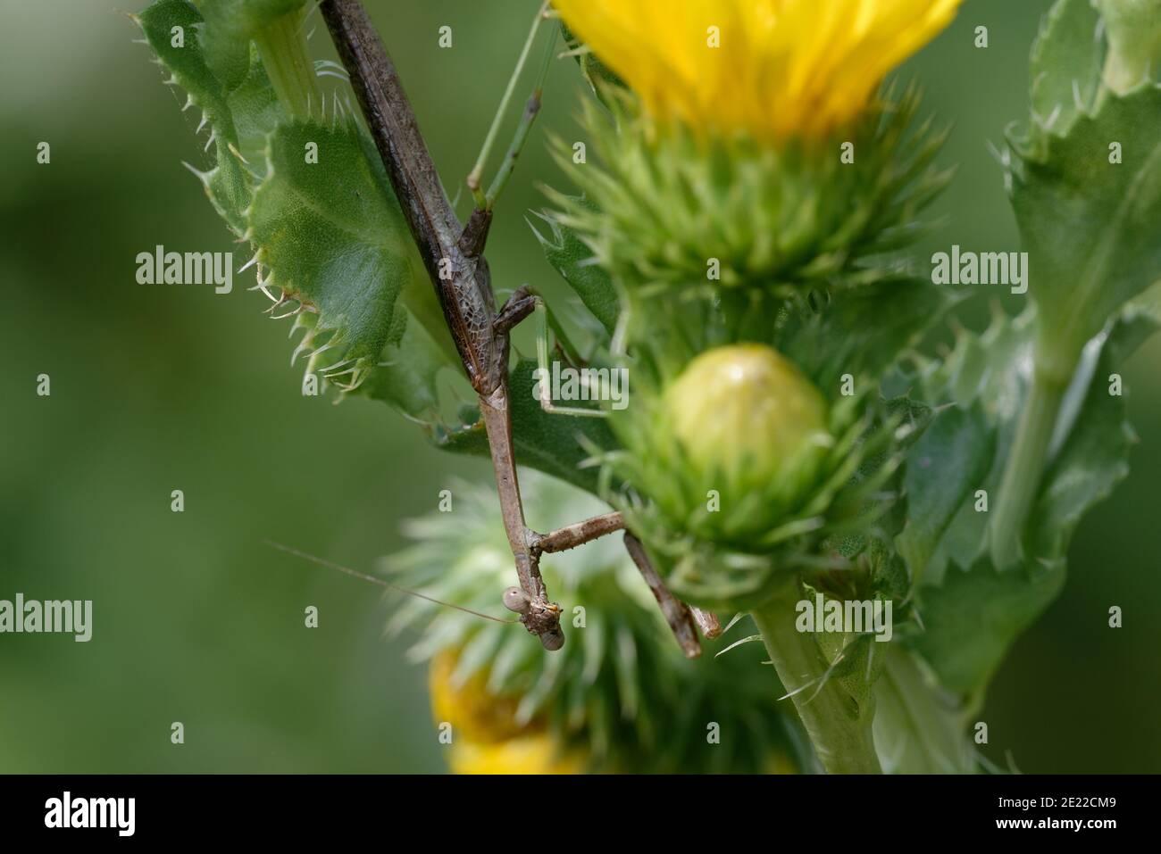Sägeblatt-Gänseblümchen mit Gottesanbeterin Stockfoto